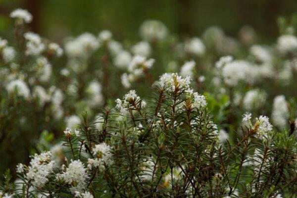 labrador tea in bloom