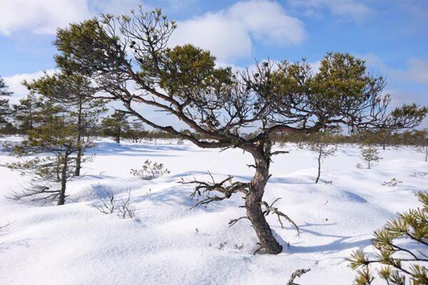 rabamännid talvel