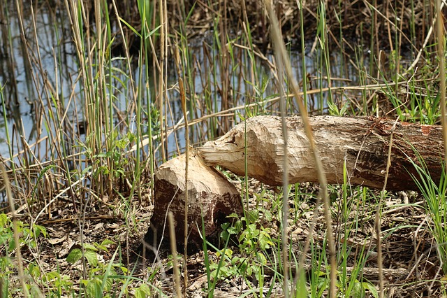 Kopra langetatud puu